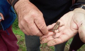 A tiny Ewing Tree Frog in someone's hand